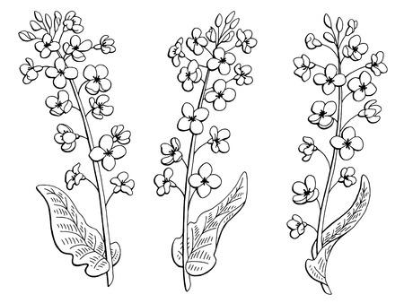 Rape flower graphic black white isolated sketch illustration vector Vettoriali