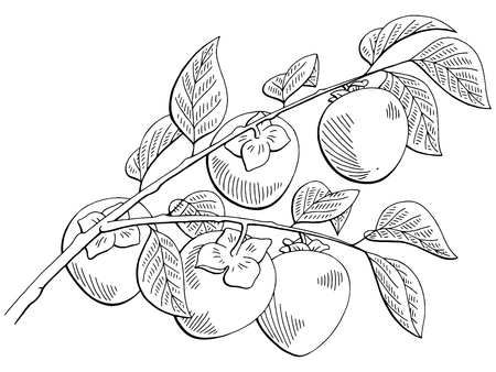 Persimmon fruit graphic branch black and white isolated sketch illustration vector