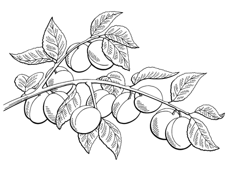 Apricot fruit graphic branch black and white isolated sketch illustration vector