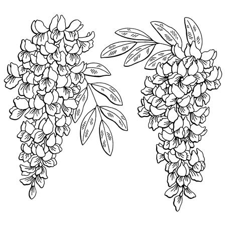 아카시아 꽃 검정 흰색 절연 스케치 일러스트 벡터 일러스트
