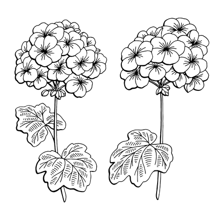 Geranium flower graphic black white isolated sketch illustration vector Ilustração