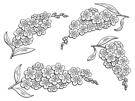 Forget me not flower graphic black and white illustration. Vettoriali