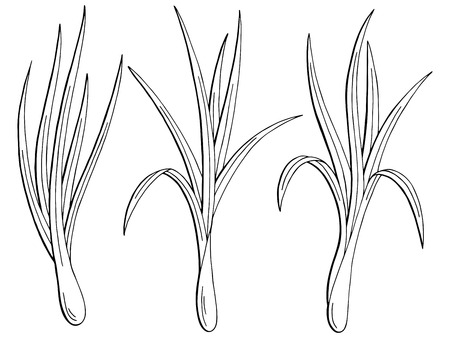 Lemongrass plant graphic black and white isolated sketch illustration vector.