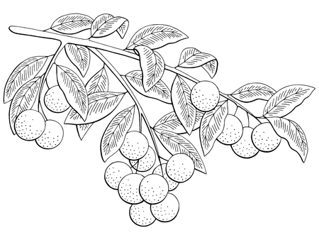 Longan fruit graphic branch black and white isolated sketch illustration vector