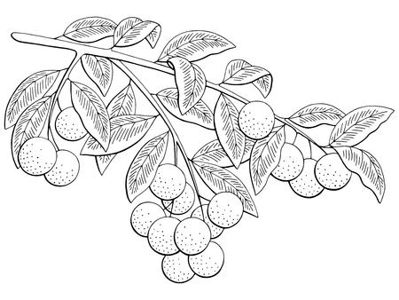 Vector de ilustración de boceto aislado blanco y negro de rama gráfica de fruta longan Ilustración de vector