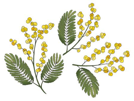 Mimosa flower graphic color isolated sketch illustration vector
