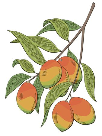 Mango fruit graphic branch branch isolated sketch illustration vector Illusztráció