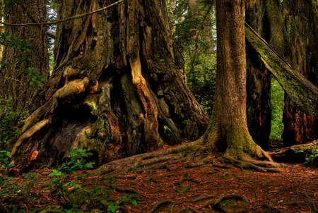 Ancient redwood trees in a California forest
