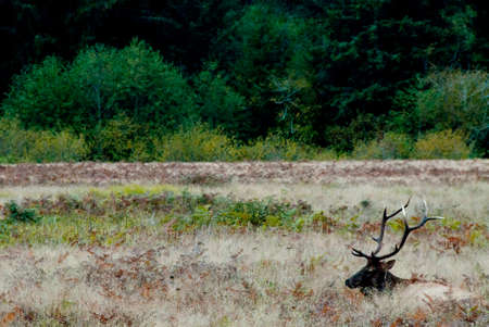 lounges: A lone elk lounges in a peaceful California Meadow Stock Photo