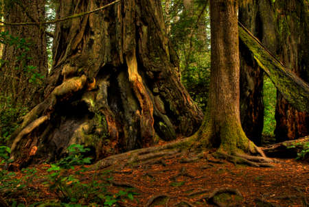 A giant redwood tree in a lush, magical forest