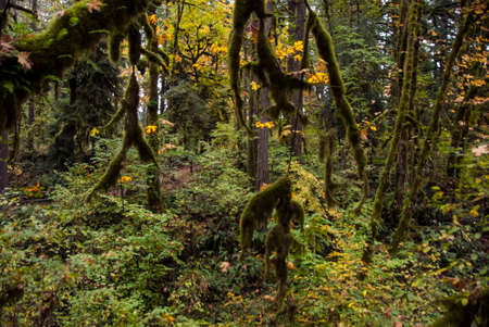 damp: Mossy greenery in a damp vine filled oregon rain forest.
