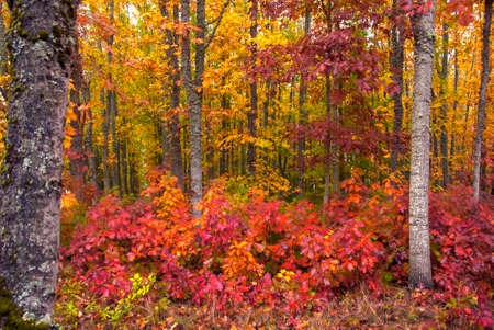 woodsy: Bright autumn reds, golds and yellows in a forest in the fall.
