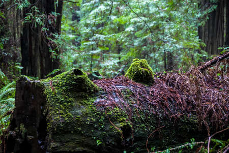 woodsy: Moss coveres the trunk of a fallen giant tree. Stock Photo