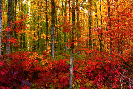woodsy: Vivid fall colored foliage in a woodsy forest in autumn