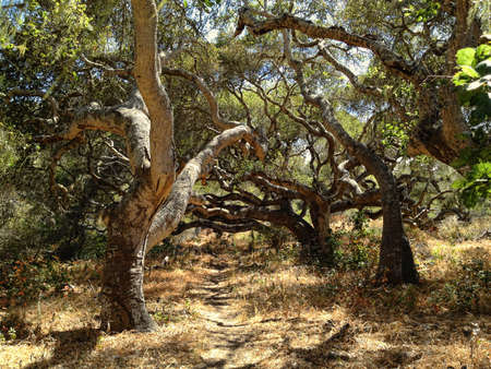 woodsy: A path meanders through a grove of old oak trees.