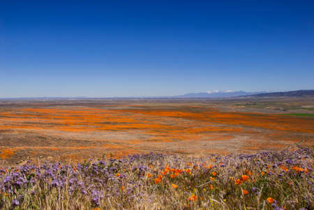 A field of orange California poppies and purple wildflowers.