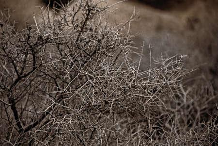 twiggy: A leafless, twiggy shrub in the Mojave Desert.
