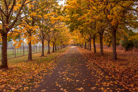 woodsy: Trees full of fall colored leaves line a road in the countryside.