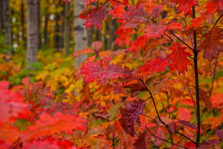 Fall foliage displays vivid colors in a forest in autumn. Фото со стока