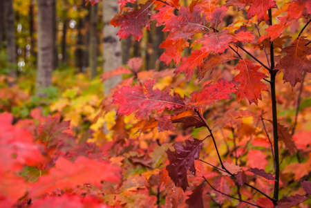 Bright fall colors in a forest of red, yellow and pink autumn leaves.