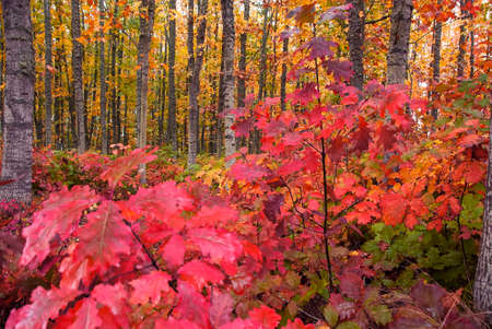 pinks: Vivid pinks, yellows, oranges and reds fill forest of woodsy trees in autumn.