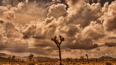desert storm: Storm clouds gather at dusk over Joshua Trees in the California desert.