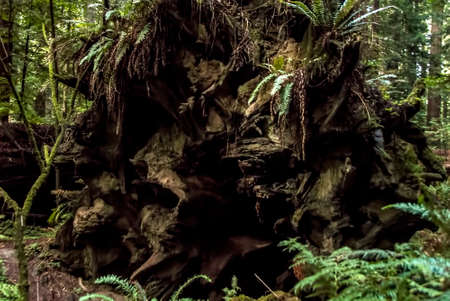 woodsy: Ferns grow on the giant tree roots and trunk of a fallen tree in a forest. Stock Photo