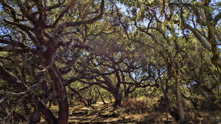 Old California oaks in a little grove.