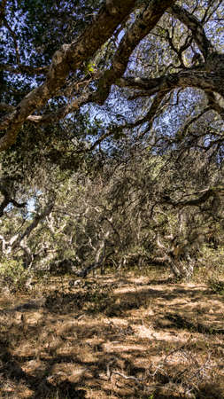 lacey: California Oaks in a little strange grove. Stock Photo