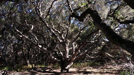 A strangely pretty old California oak tree.
