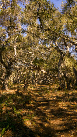 neutrals: Old California oak trees on a path of sorts. Stock Photo