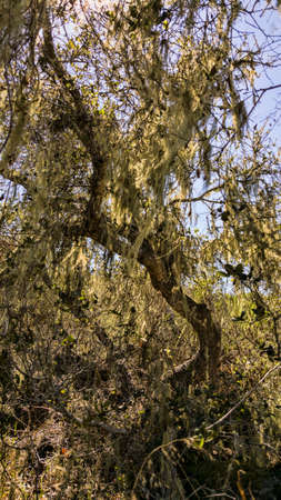 neutrals: An old California Oak tree covered in moss.