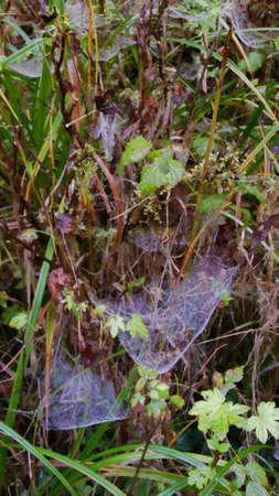 dense: Spider webs hang on leaves in dense brush.