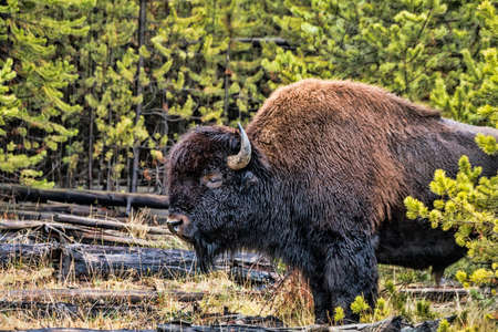 contemplates: A large Buffalo contemplates life in Wyoming.