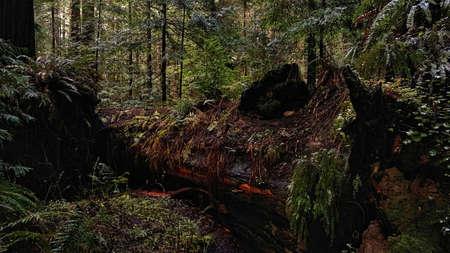 A Fallen Redwood Tree
