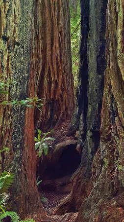 Inside Two Burned Redwood Trees Stock Photo