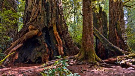 Giant Redwood Tree Trunks