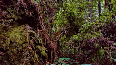 Moss covers a moody Humboldt forest, California.