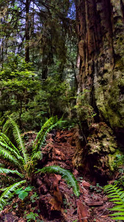 A redwood tree and ferns in a forest.