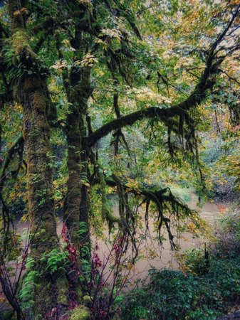 A moss covered tree drapes over a river in a moody fairyland Oregon forest. Zdjęcie Seryjne - 118385709