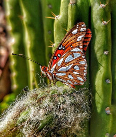 A Monarch Butterfly with folded wings rests on a thorny western California cactus. Zdjęcie Seryjne - 118385711