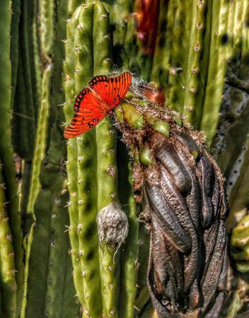 A bright orange Monarch Butterfly on a dead cactus flower. Stok Fotoğraf