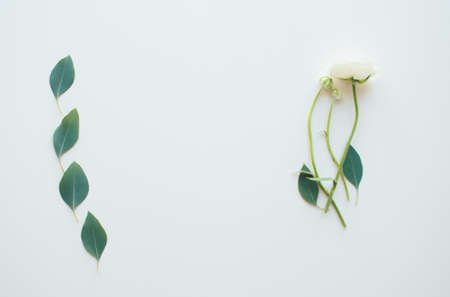 On the left is eucalyptus leaves, on the right is a ranunculus flowers, flatlay, on the light background.