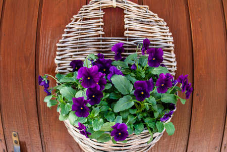 Wicker pot with Wicker pot with purple flower. flowers of pansies, background of wooden surface.