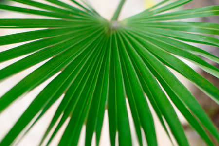 Large green palm leaf of the Sabal minor family. Natural tropical background, closeup. 免版税图像