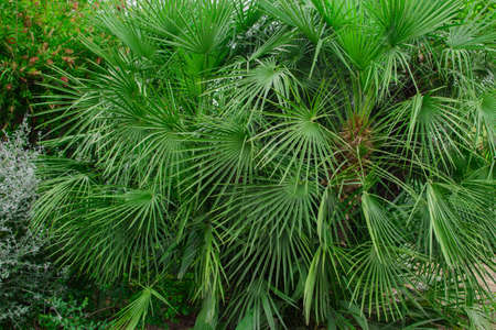 Many green leaves of the tropical palm tree of the Sabal minor family. Natural tropical background.