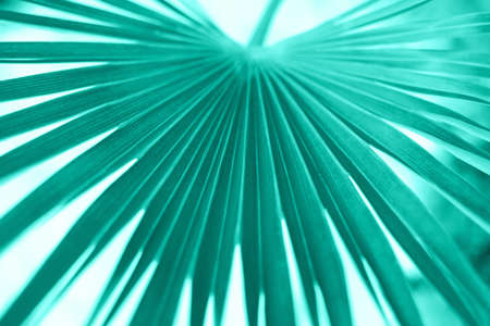 Large palm leaf of the Sabal minor family in neo mint color. Natural tropical background, closeup.