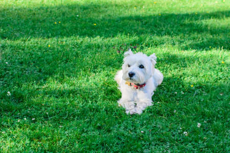 Cute West Highland White Terrier with a red collar lying on the green grass, background natural. Stock fotó