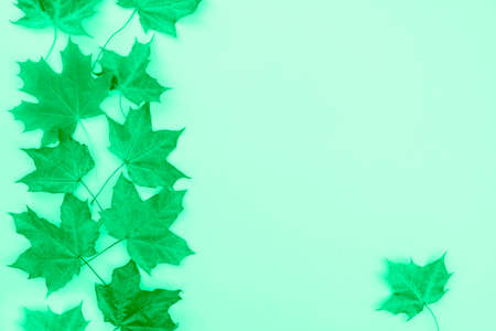 Monochrome green autumn maple leaves on a mint background. Flat lay, top view.