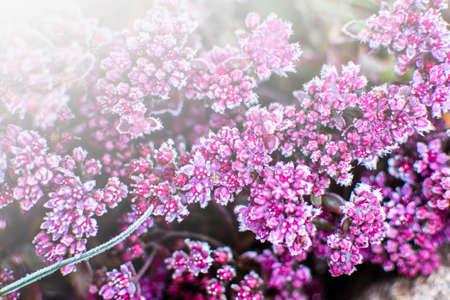 Erster Frost auf kleinen roten Blüten mit schön fallendem Licht von der Sonne, Spätherbst. Natürlicher Hintergrund. Ansicht von oben, Nahaufnahme.